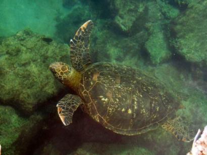 Marine-Turtle-Isabela-Island